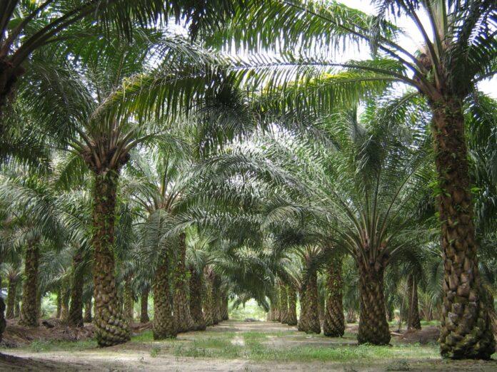 Piantagione di palme da olio in Malesia (foto di pubblico dominio)